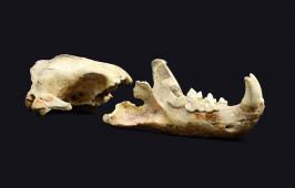 Odjeljenje za prirodne nauke, geologija, geološka prošlost, fosil, pleistocen, kosti, leopard