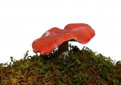 Odjeljenje za prirodne nauke, botanika, gljive, bljuvara, Russula emetica Fr.