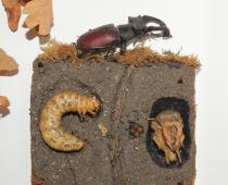 Natural sciences, zoology, insect, Stag beetle – Lucanuscervus (Linnaeus)