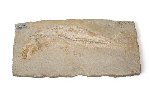 Odjeljenje za prirodne nauke, geologija, geološka prošlost, riba, gornja jura