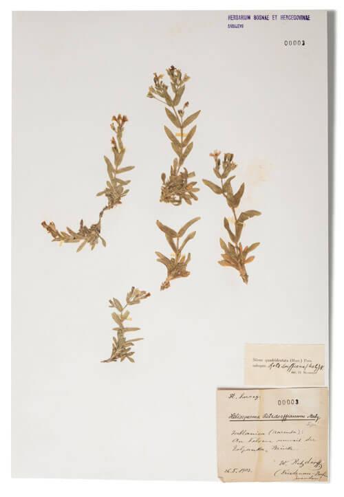 Odjeljenje za prirodne nauke, botanika, herbarij, endem, Retzdorffova pušinica, heliosperma