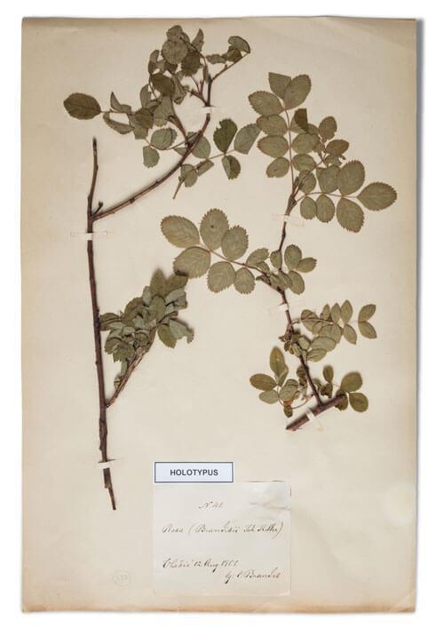 Odjeljenje za prirodne nauke, botanika, herbarij, endemi, vlašićka ruža
