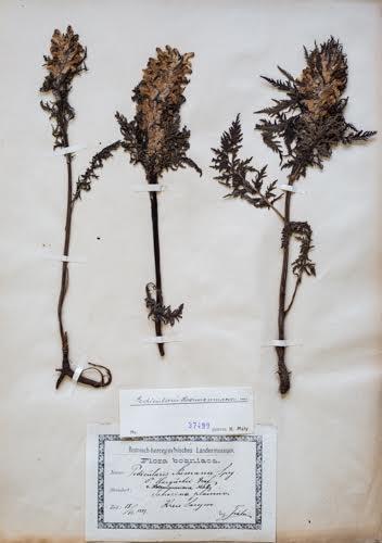 Odjeljenje za prirodne nauke, botanika, endemi, Hermanov usljivac, Pedicularis hoermanniana K. Maly
