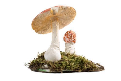 Odjeljenje za prirodne nauke, botanika, gljive, Macromycetes, muhara, Amanita