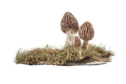 Natural sciences, mushrooms, morel, Morchella esculenta
