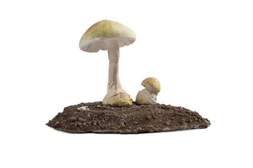 Odjeljenje za prirodne nauke, botanika, gljive, zelena pupavka, Amanita