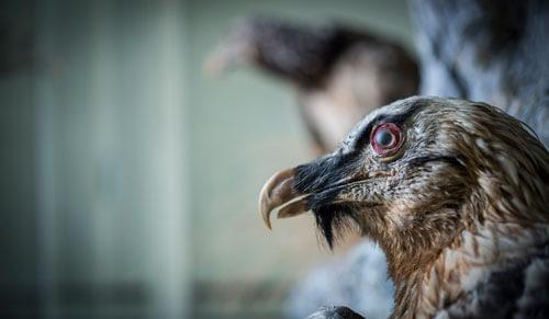 Odjeljenje za prirodne nauke, zoologija, ornitologija, ptice