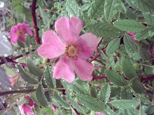 Zimt ruža